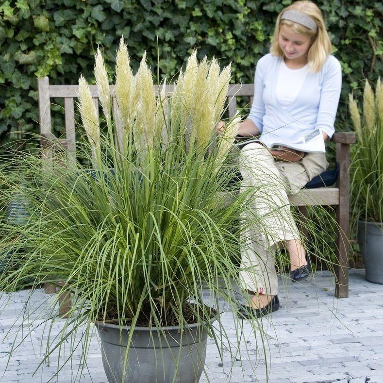Mini pampas grass Plants to plant.. Pampas grass