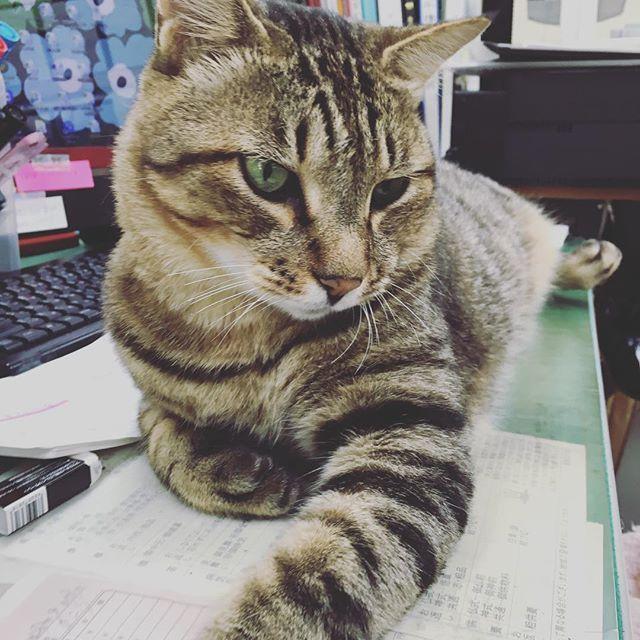 占領完了! byとらのすけ #猫#ねこ#ネコ#cat#ねこ部#ぺこねこ部#ねこちゃん#愛猫#ねこすたぐらむ#ねこら部#ふわもこ部#ねこだいすき #cutecats #cutekitty #instacat_meows#cutecat#instacatsgram#instacats#catlove#catlover#catlovers#catloversworld#Instagramcatsss#Instagramcats#でぶねこ#きじとら#とらのすけ