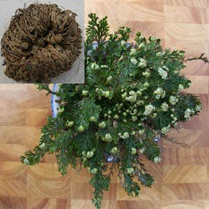 The Miracle Of The Resurrection Plant Resurrection Fern Plants Plant Seedlings