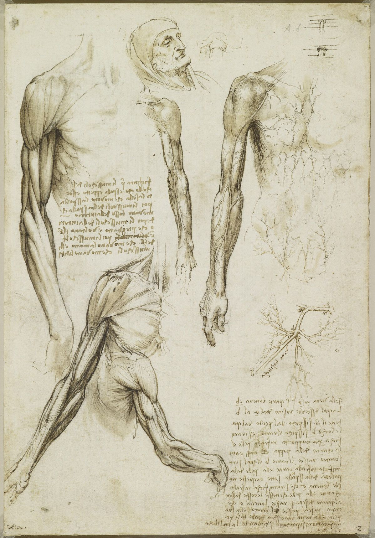 The muscles of the arm, and the veins of the arm and trunk. Leonardo ...