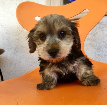 Morkie puppy for sale in LOS ANGELES, CA  ADN-70898 on
