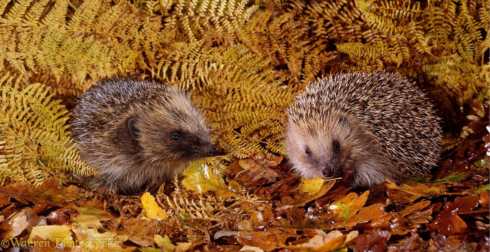 Autumn Hedgehogs Hedgehog