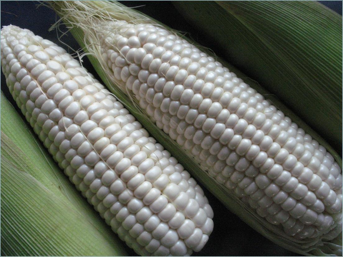 White Waxy Corn   A Grain of Truth   Pinterest