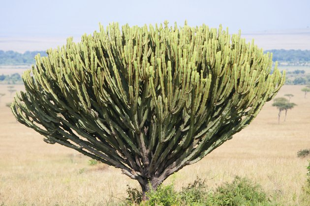Types of Trees, Grass & Shrubs in the Savanna (With images