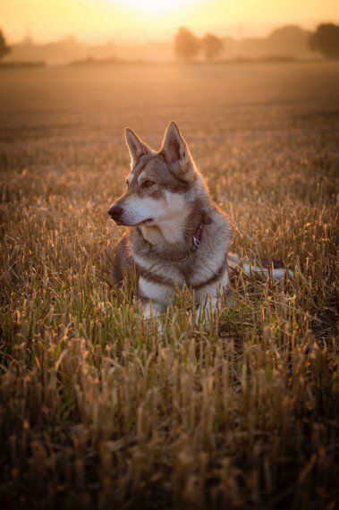 Purebred Saarloos Wolfdogs Rhayader Powys Pets4homes Wolf Dog Beautiful Dogs Dog Mixes