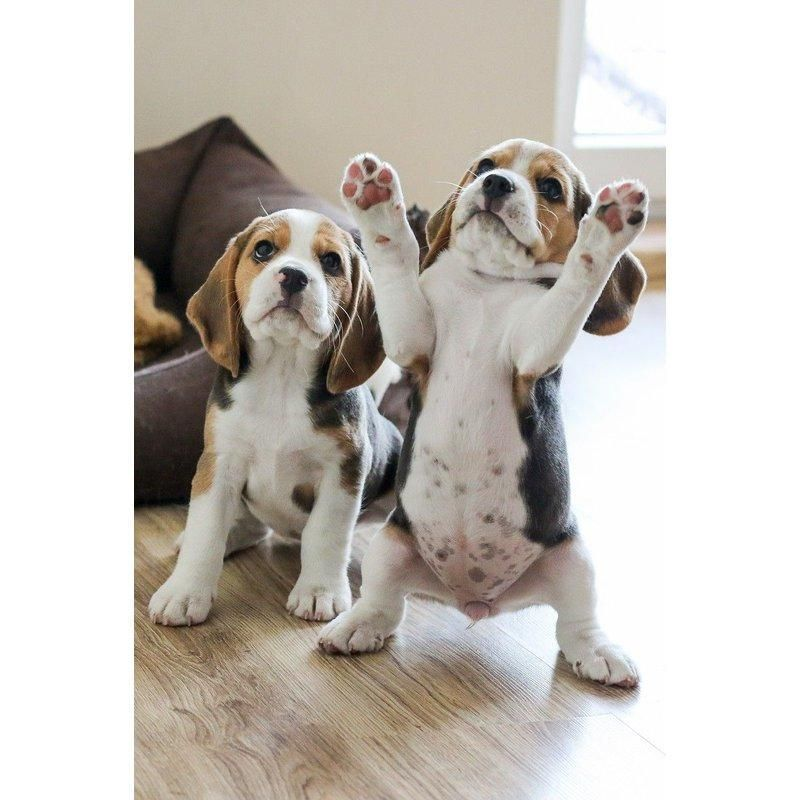 Diamond Painting Two Puppy Beagles Cute Animals Baby Animals