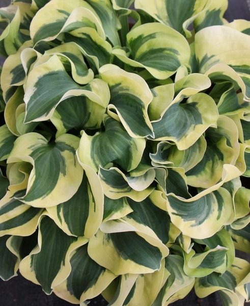 Hostas For Sale >> Hosta Mini Skirt Pp 26 743 Garden Fairy Garden Plants Garden