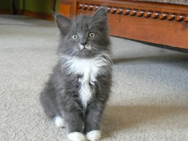 i want me a new kitten with white paws some day cats grey kitten grey white cat. Black Bedroom Furniture Sets. Home Design Ideas