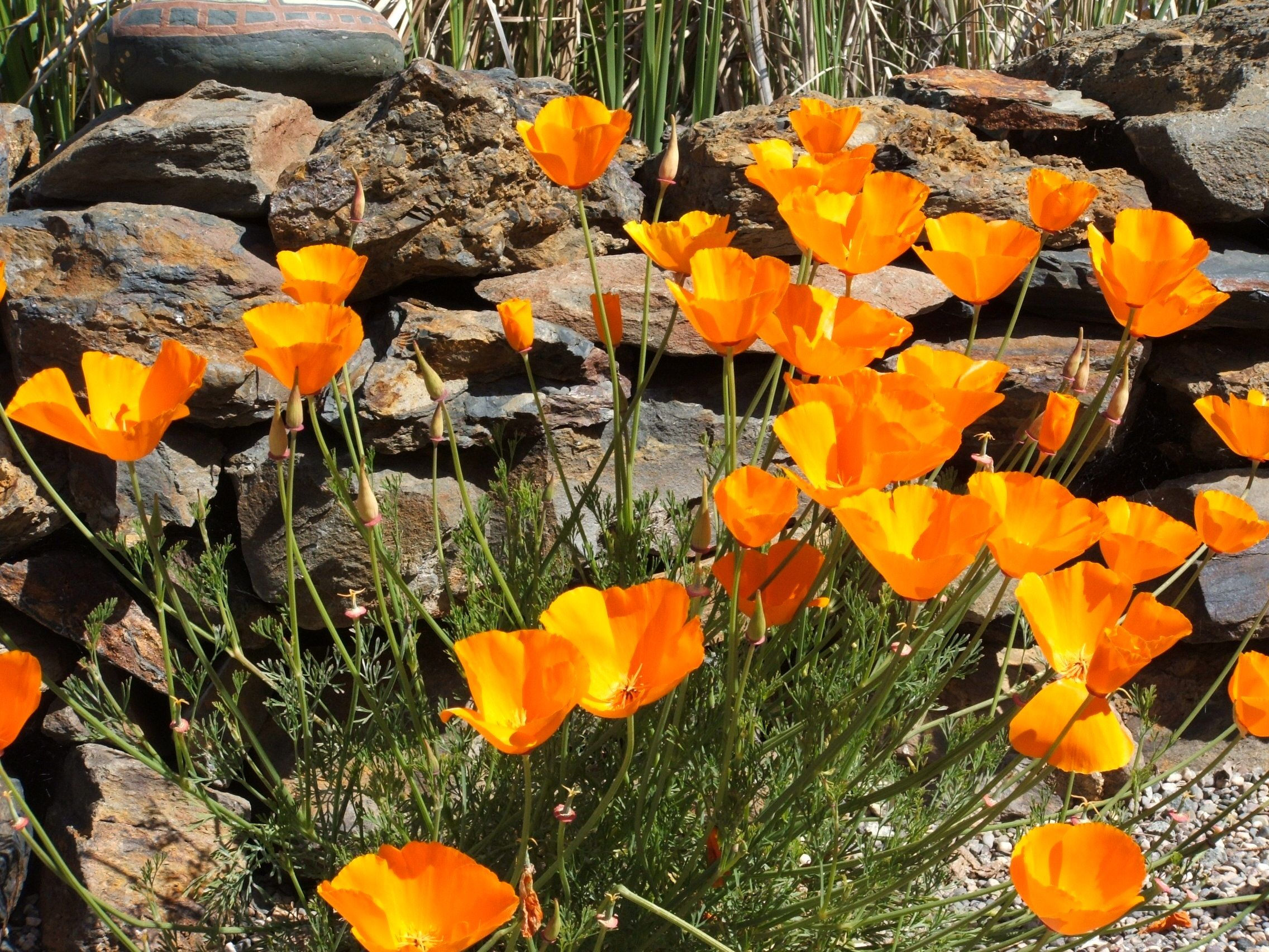 California Poppy (Eschscholzia Californica) - this famous perennial is easy to grow and drought tolerant (perfect for California!)