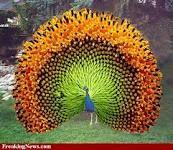 peacock?sunflower