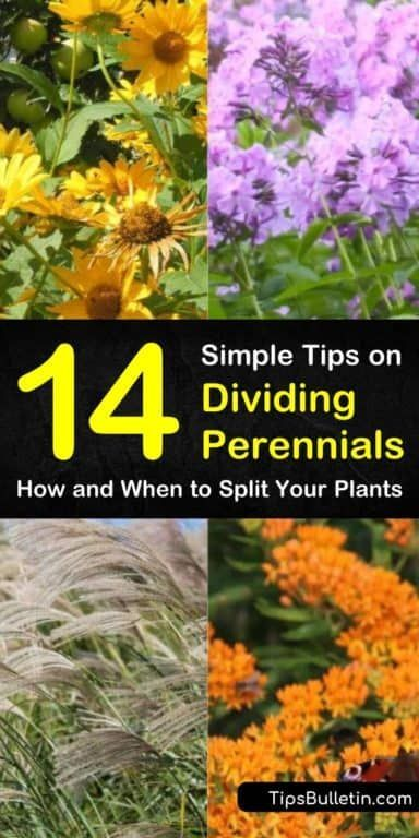 14 Simple Tips on Dividing Perennials  How and When to Split Your    is part of Plants, Perennials, Easy care plants, Flower garden, Flowers perennials, Hardy plants - Find out which plants are the best dividing perennials with our guide  We show you which residents of your flower gardens and yards can go from seeds in the spring to division in fall  Your perennials will thank you  dividing perennials plants