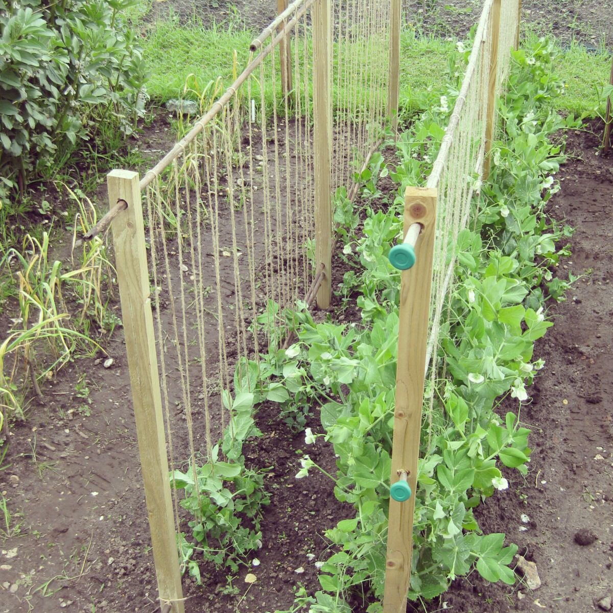 Growing Garden Peas: Homemade Pea Supports. Www.lavenderandleeks.co.uk