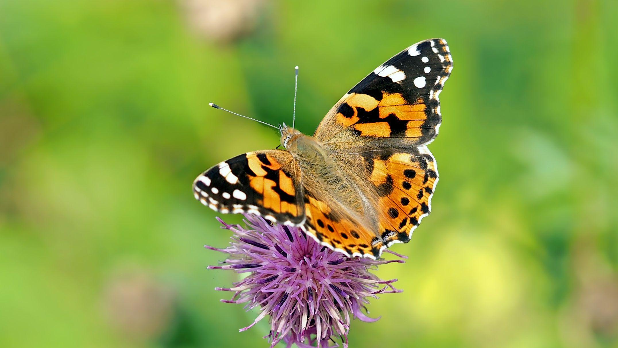 #butterflies #butterfly #nature #beautiful #amazing #bellissime #farfalla #farfalle #flowers #flower #fiori #natura #fiore #incanto #meravigliedellanatura #meraviglie #white #bianco #black #nero #dots #pois #stripes #strisce #orange #arancio