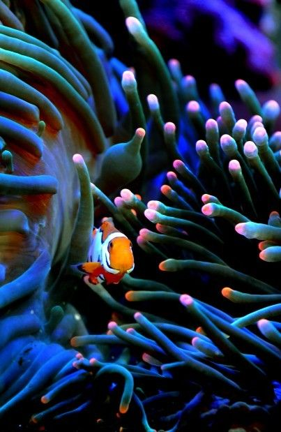 Picasso Percula Clownfish Marine Animal Underwater Photography Fish Under The Sea Under The Sea Tropical Fish