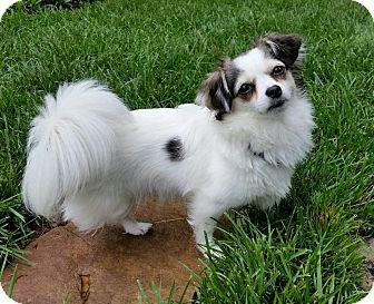 Chihuahua Papillon Mix Dog For Adoption In Greensboro North