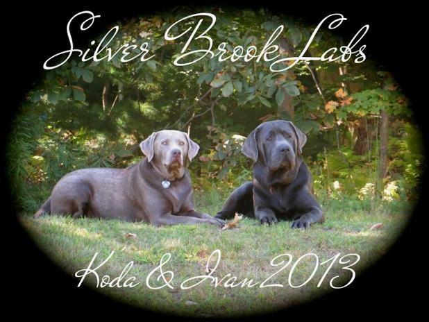 Silver Brook Labs Akc Labrador Puppies Labrador Puppy