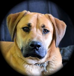 Adopt Sly on Boxer dogs, Labrador retriever mix, Dogs