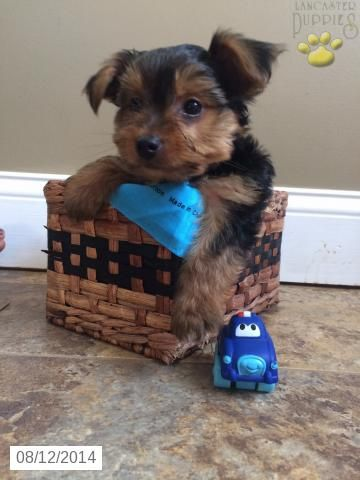YorkChon Puppy for Sale in Pennsylvania Puppies