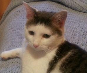 Adopt Hammy On Grey White Cat Cute Animals Cats
