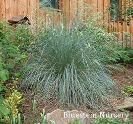 Helictotrichon Sempervirens Blue Oat Gr Has Beautiful Silvery Flowers In The Spring