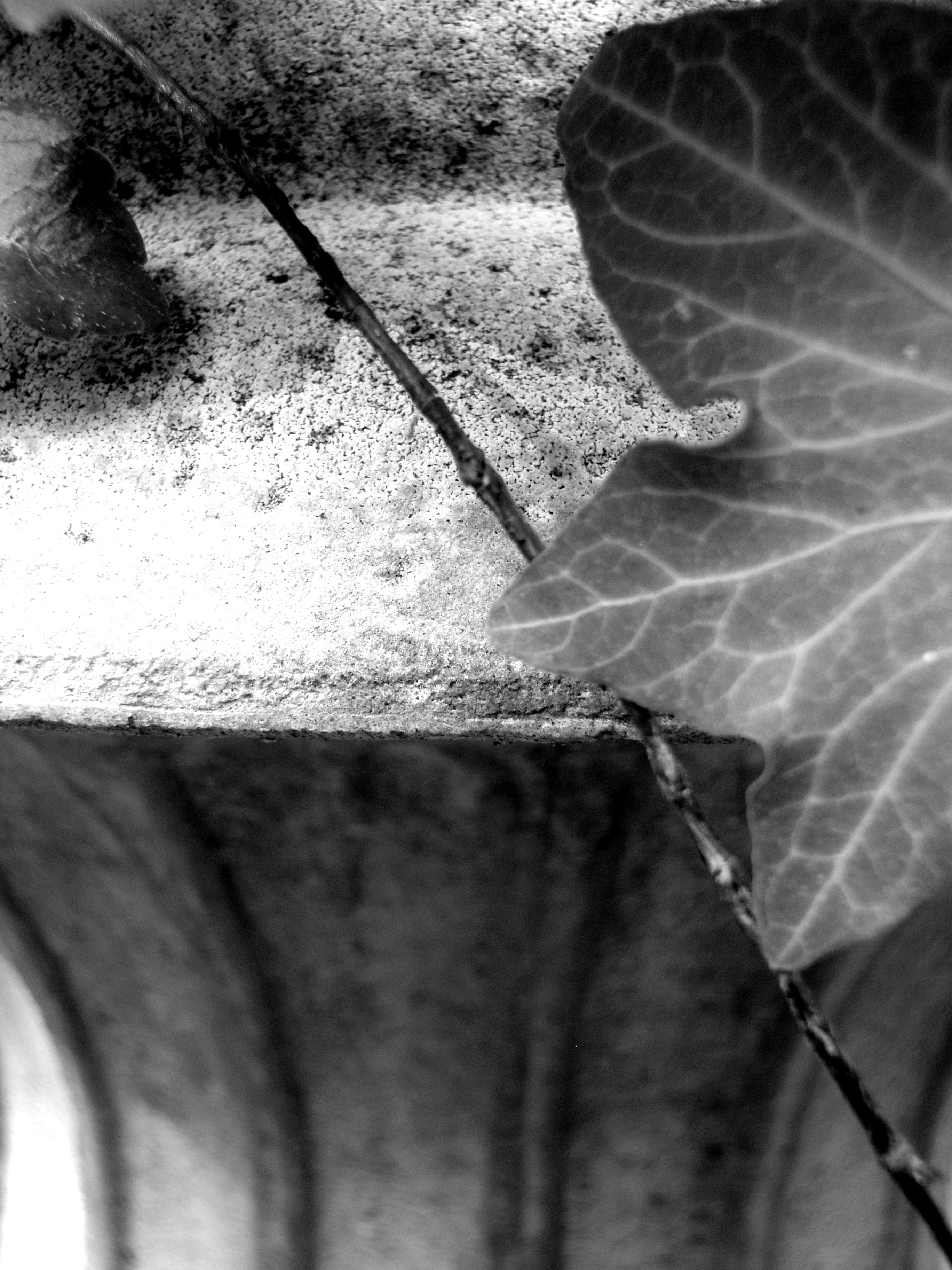 Ivy on Stone
