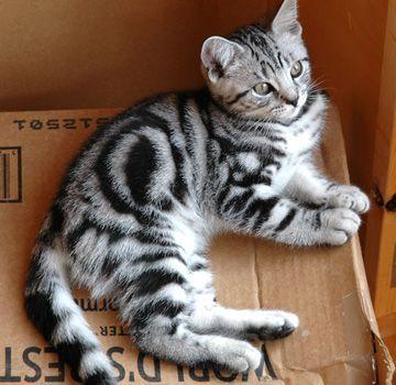 Adorable Silver Tabbies Kitten With Bullseye Stripe Pattern Omg