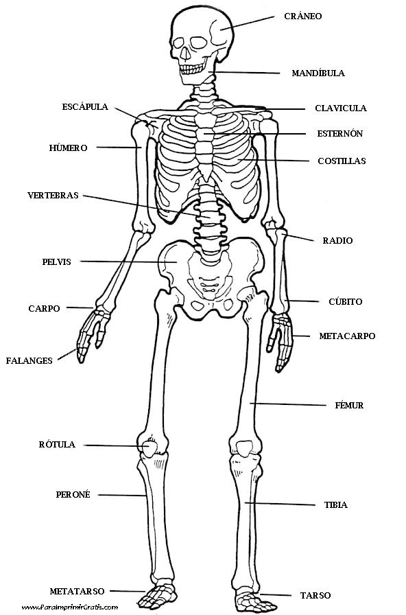 Esqueleto Humano para imprimir y colorear. Menciona los nombres de ...