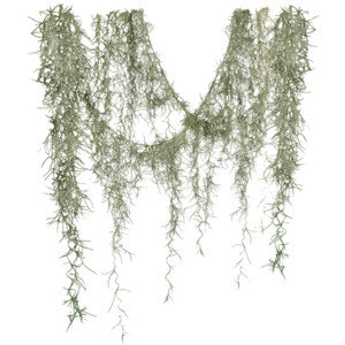Spanish Moss Tillandsia Usneoides Plant Better Known As Etsy Spanish Moss Tillandsia Moss