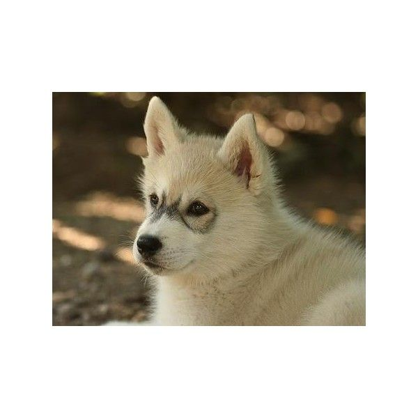 Tiara the Siberian Husky liked on Polyvore featuring