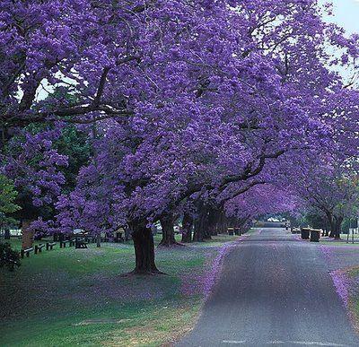 California Lilac Tree