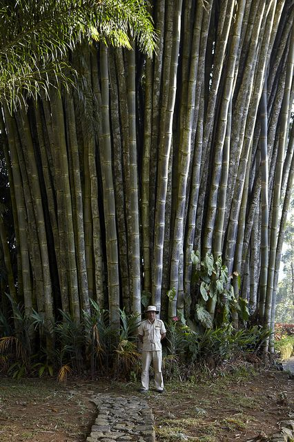 norwood giant bamboo ceylon