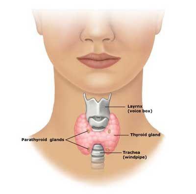 The thyroid regulates body metabolism, produces thyroid hormones ...