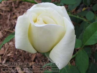 How To Make Alfalfa Tea For A Rose Fertilizer Is Probably The Best You Can Use It S Easy And Inexpensive