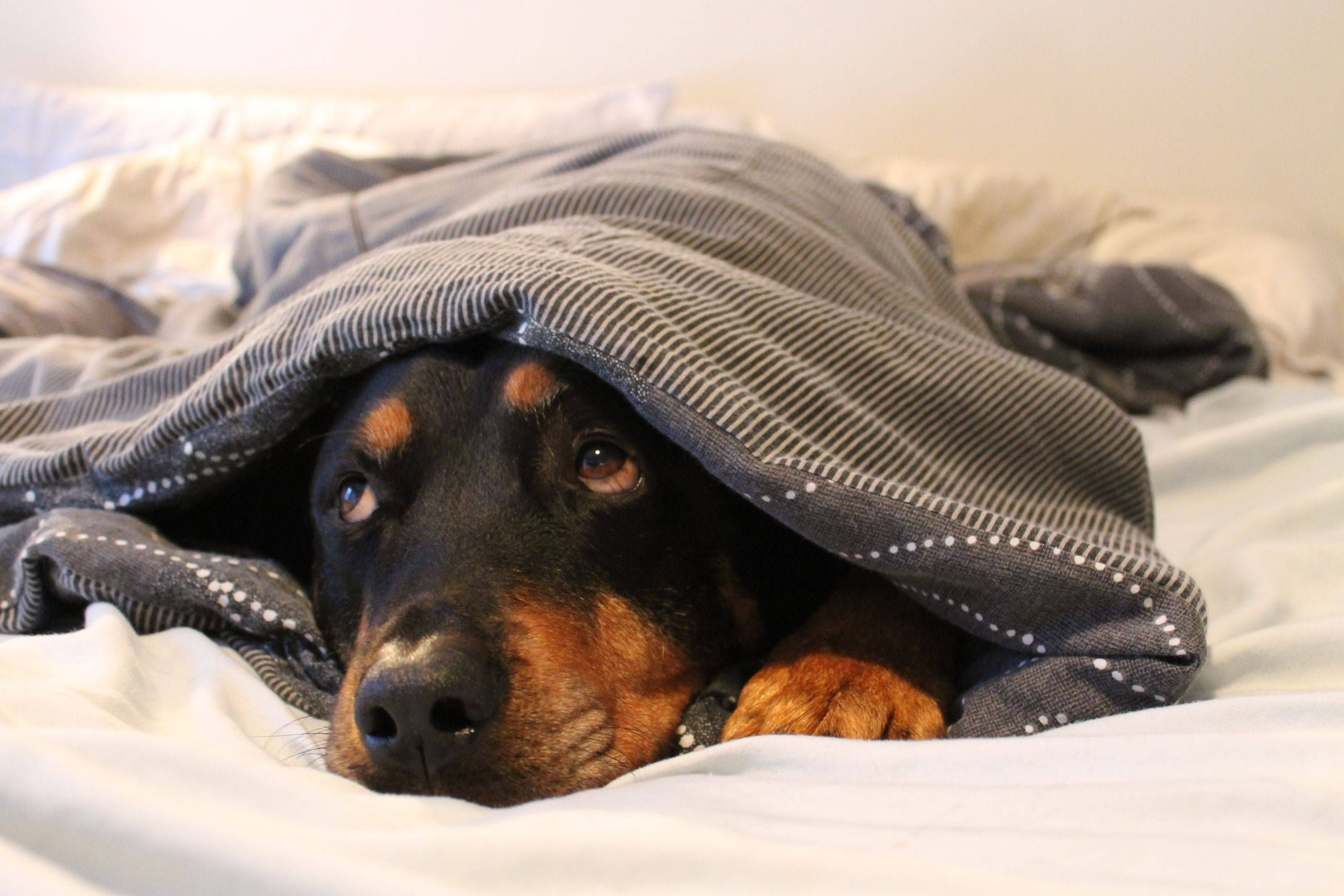 My scary, vicious Rottweiler. | Rottweiler, Dog friends ...