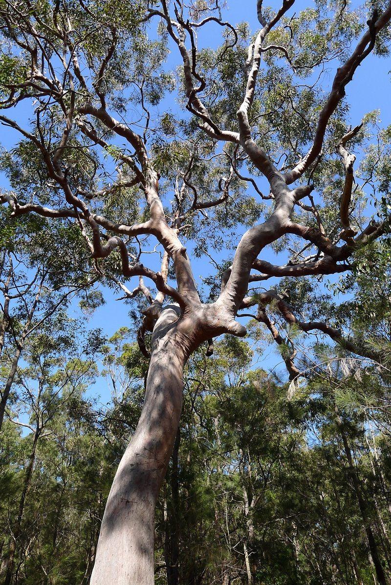 Angophora Costata Sydney Red Gum In Oatley Park Sydney Mango S Tree Australian Trees Beautiful Tree Tree
