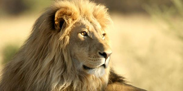 Ask for new EU Legislation banning imports of lion hunting trophies - in Cecil's memory