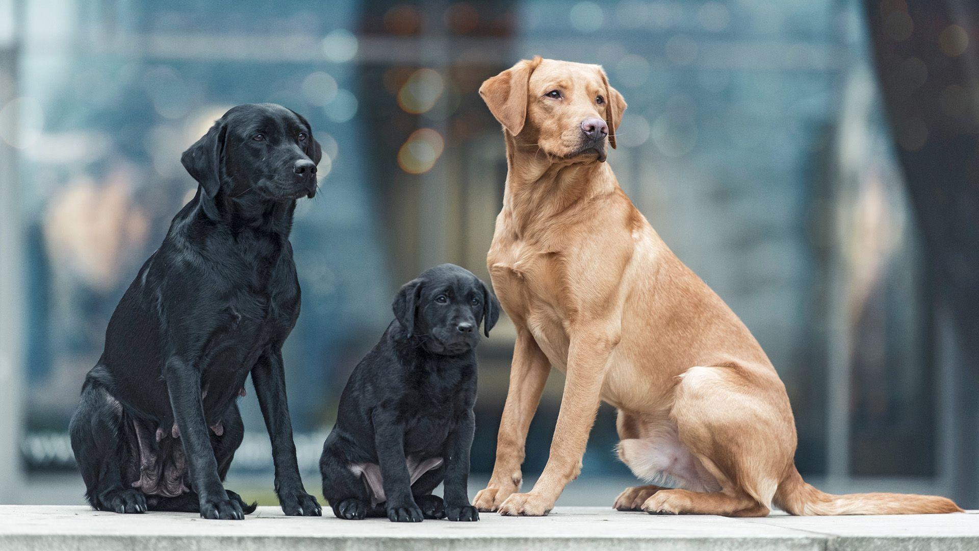 Adorable Labrador Retriever Goldador In 2020 Labrador Retriever Labrador Retriever