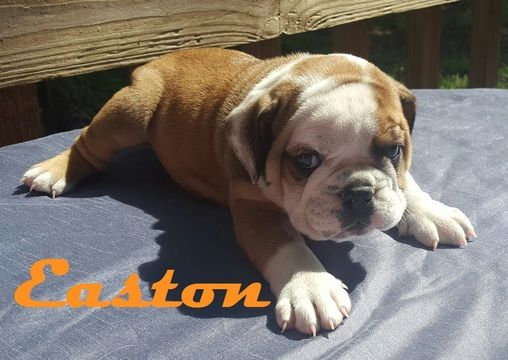Litter Of 6 Bulldog Puppies For Sale In Morganton Nc Adn 29461