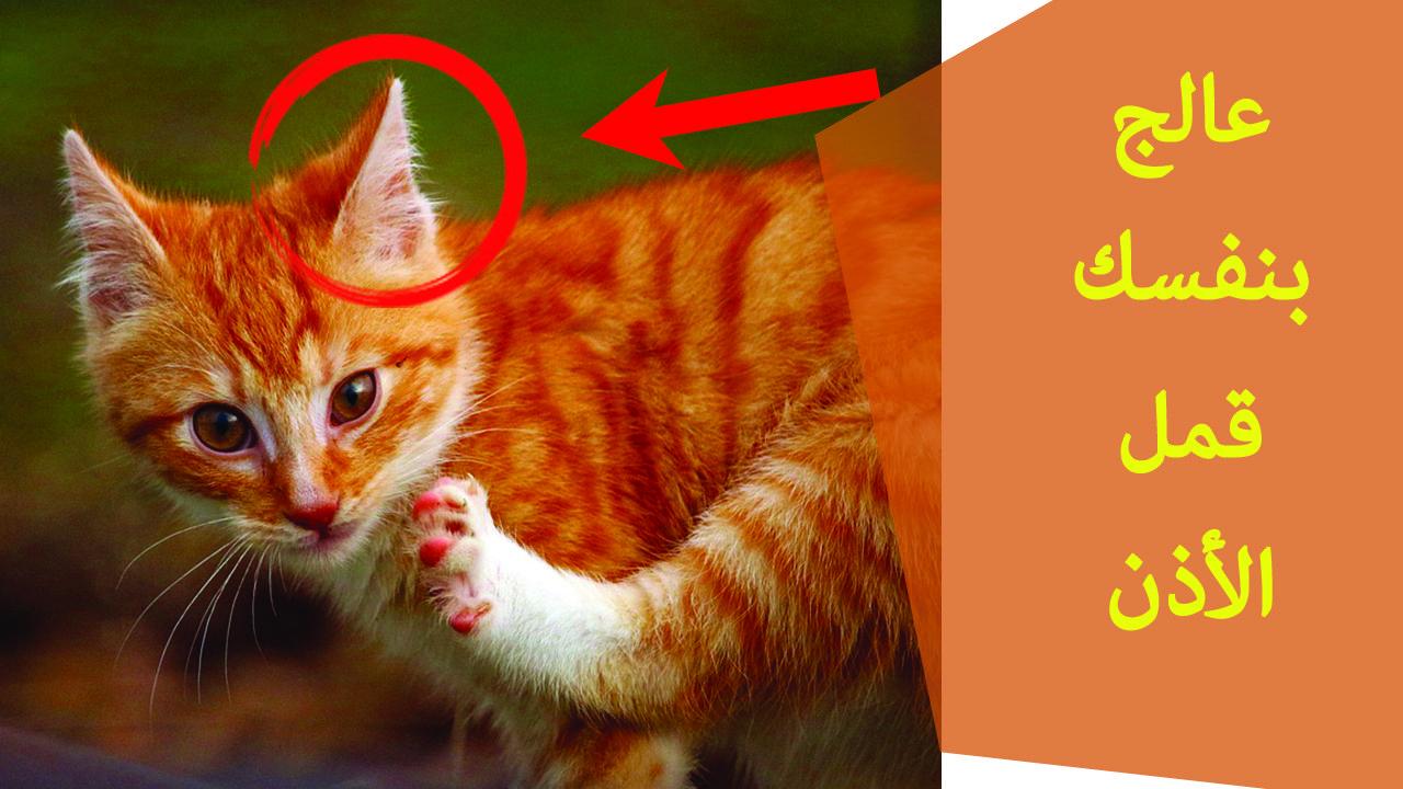 كيف تعالج بنفسك القمل في أذان القطط