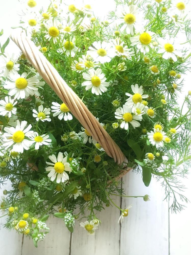 Photo of カモミールの画像 by マリモさん|花のある暮らし 籠アレン…