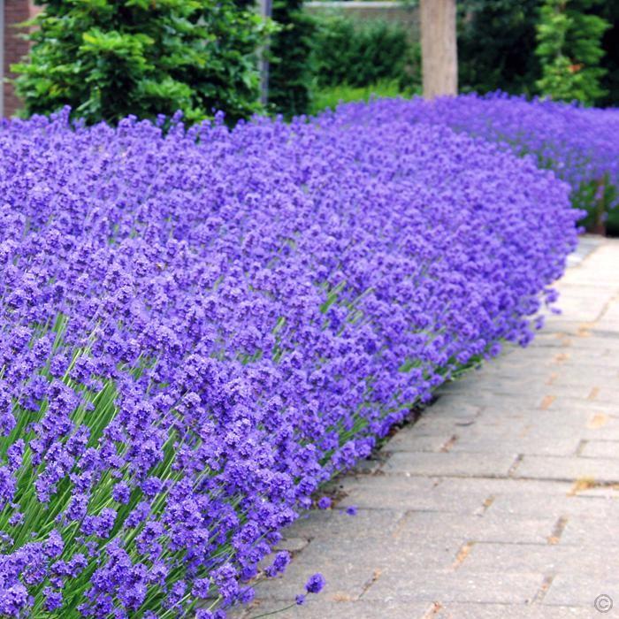 Lavender Angustifolia Munstead 7cm Pot 5 Plants Buy Online Order Yours Now Lavender Hedge Plants Growing Lavender