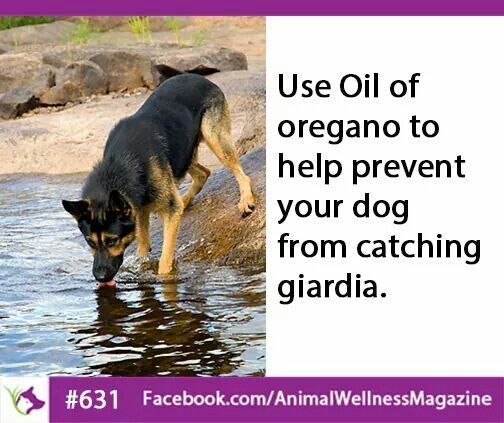 Use Oil Of Oregano To Help Prevent Your Dog From Catching Giardia