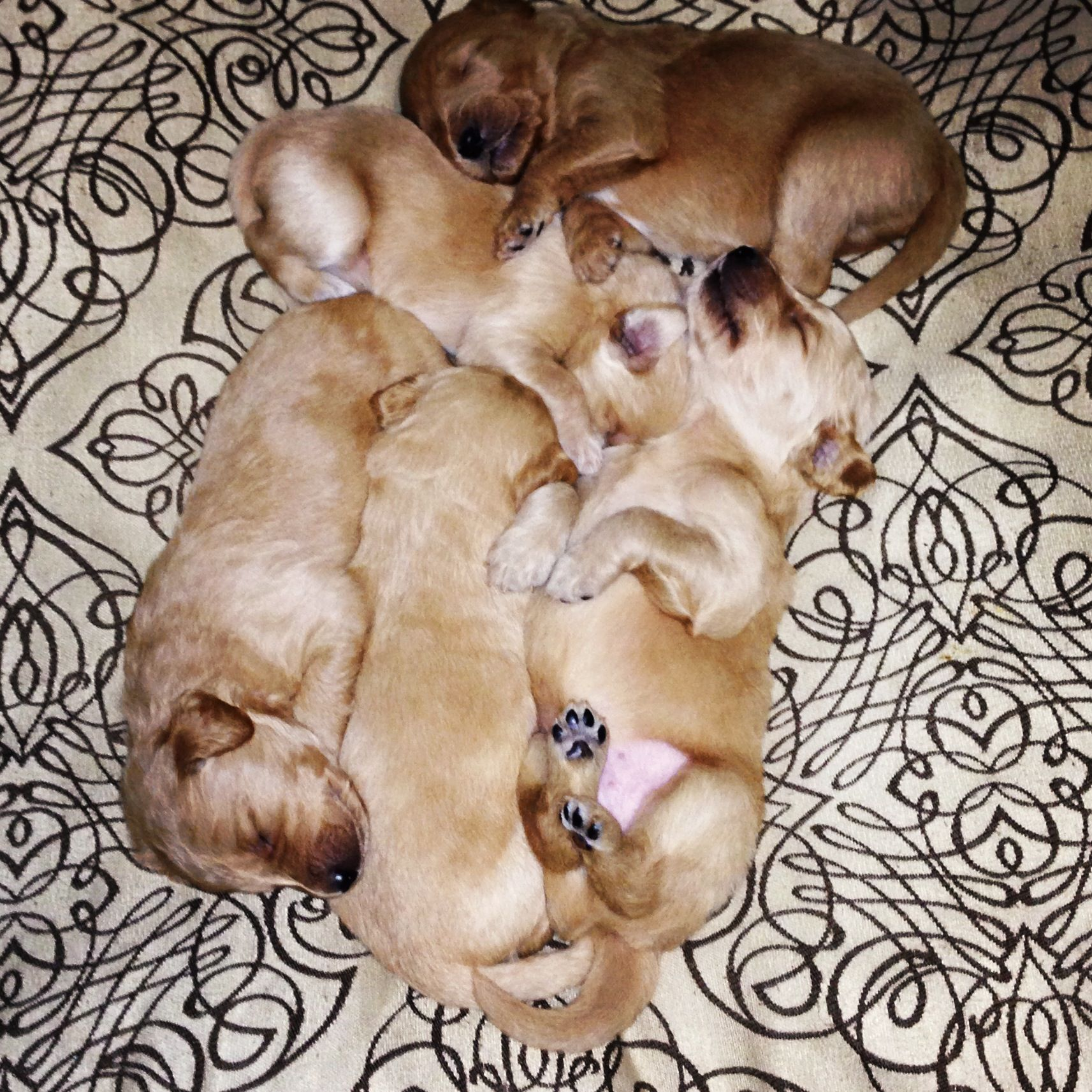 Goldendoodle Puppies 1 200 In Modesto Ca Email Jam15j Sbcglobal Net Or Comment Animals Dogs