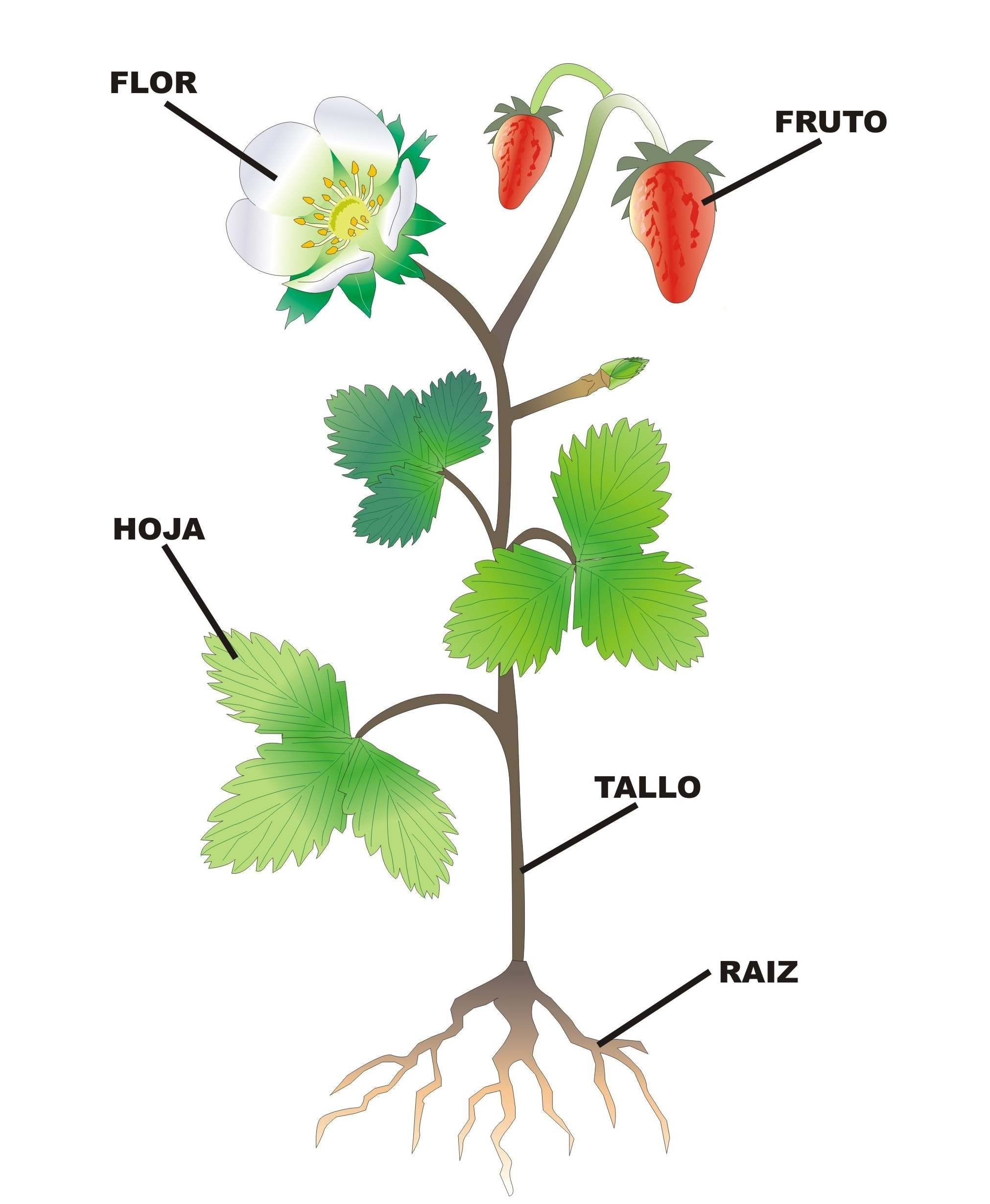 La Planta Y Sus Partes Partes De La Planta Partes De La Misa Dibujos De Plantas Medicinales