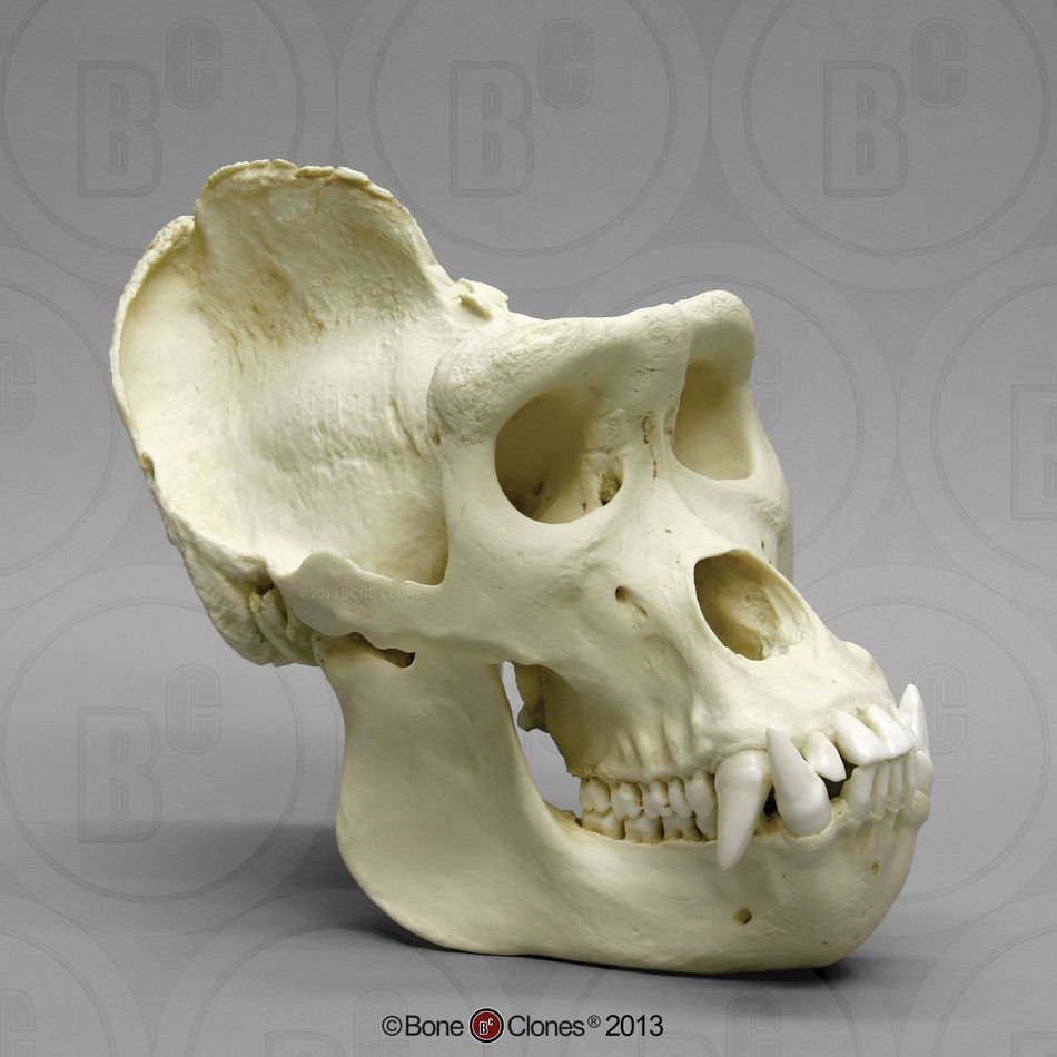 Male Gorilla Skull, x-large - Bone Clones, Inc. - Osteological ...
