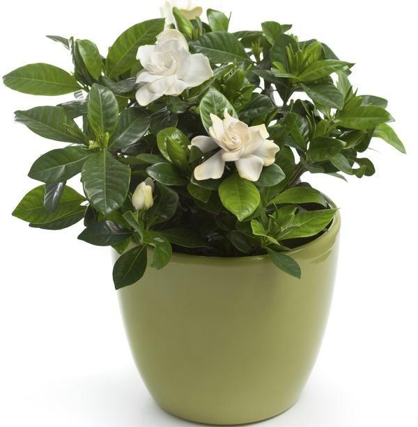 Gardenia Roslina Doniczkowa O Pachnacych Kwiatach Pielegnacja