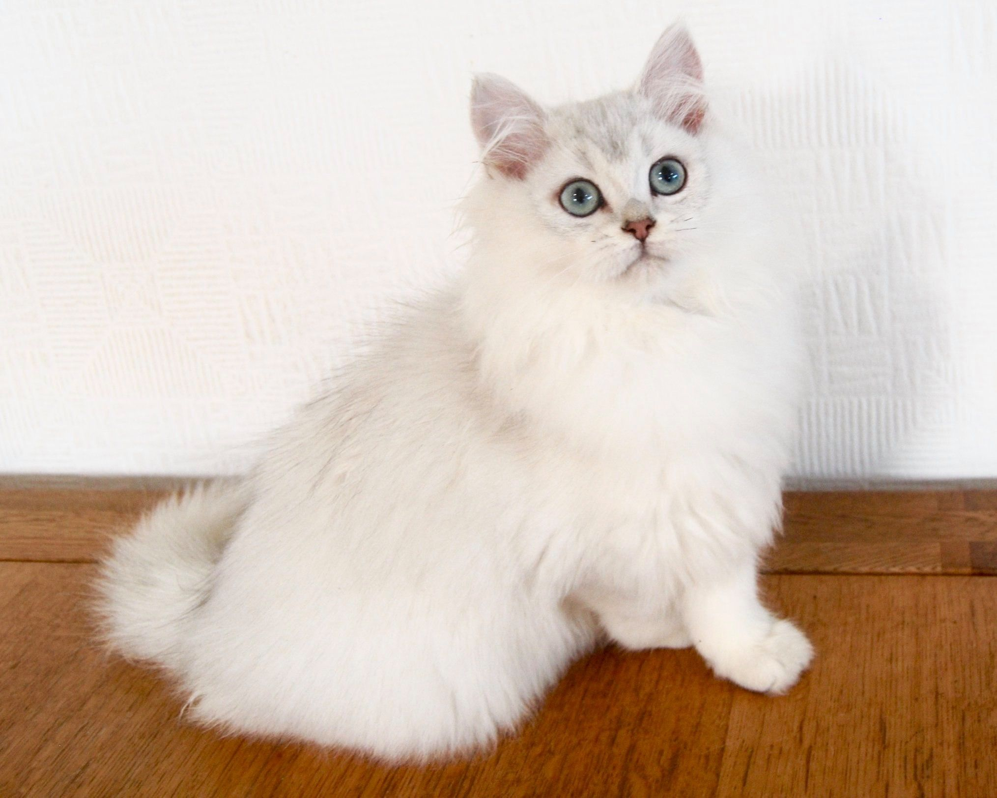 Silver Shaded Ns11 In 2020 Kitten For Sale British Shorthair Cats Cats