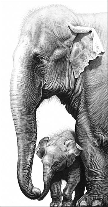 Touching - Asian elephant and calf by Gary Hodges graphite ...