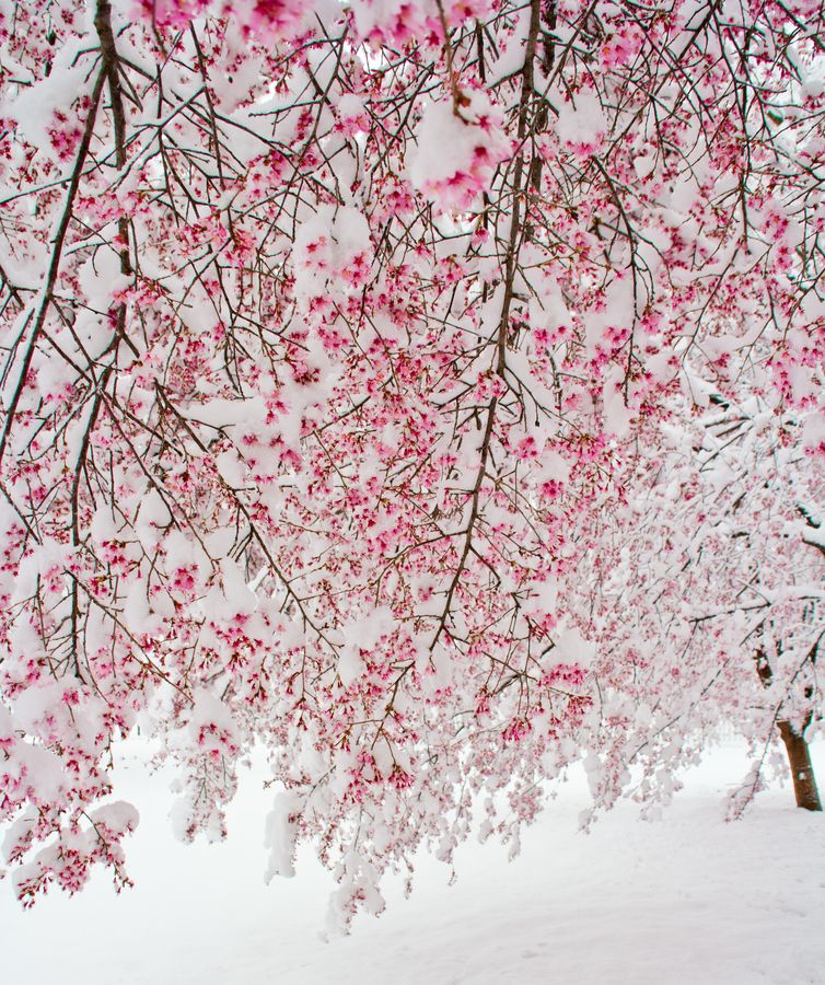 Nature S Cherry Snow Cones Snow Radiant Orchid Bloom