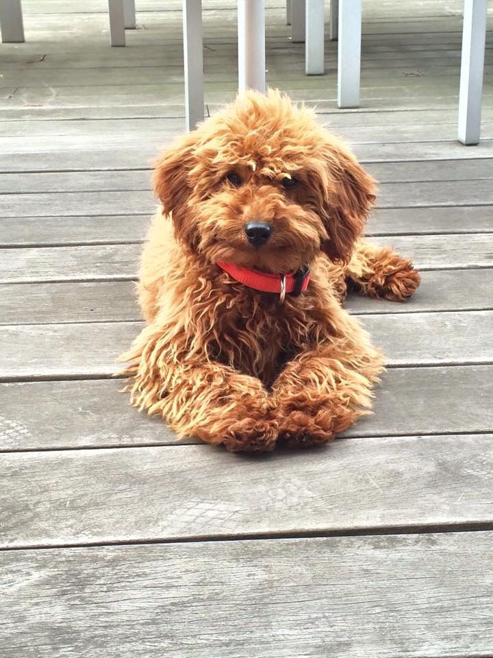 Amber Apricot Miniature Poodle Puppies Cute Little Dogs